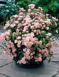 container rose garden full image for rose cottage garden plants fairy pink rose plant in container rose garden accent miniature rose container gardening Container Plants, Container Gardening, Comment Planter Des Roses, Ground Cover Roses, Lilac Bushes, Pot Jardin, Shrub Roses, Pot Plante, Planting Roses