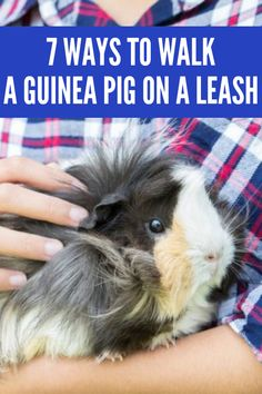 I have put together 7 of the best options that are the safest, in my opinion. Pet Guinea Pigs, Guinea Pig Care, Guinea Pig Information, Pig Pig, Emotional Support Animal, Pig Stuff, All About Animals, Raising