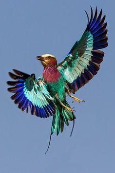 Angela and Jonathan Scott - Google+ Lilac Breasted Roller, Jonathan Scott, Little Birdie, Book Images, Exotic Birds, Swans, Bird Prints, Bird Feathers, Beautiful Birds