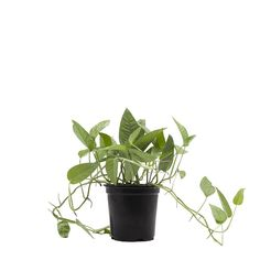 This very hard-to-find vining houseplant offers a subtle but stunning range of colors, with foliage that can vary from green to blue and even silver.  If you like, it can vine and grow on a stake or trellis. What's more, this easy-care indoor plant requires the same minimal care as other Pothos varieties! Easy Care Indoor Plants, Epipremnum Pinnatum, Organic Ceramics, Green To Blue, Low Light Plants, Fast Growing Plants, Plant Lighting, Grow Organic, Large Plants