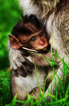 Long Tailed Macaque with Infant, Java, Indonesia