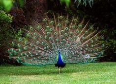 Indian Peafowl Pavo cristatus - Google Search