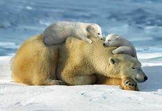 Sleeping polar bear & two cubs, Manitoba, Canada (© Steve Bloom Images/Alamy)  If current warming trends continue and the sea ice on which the bears live and hunt melts, scientists predict that two-thirds of the world's polar bear population could disappear by 2050.