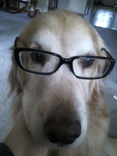 """Gracie the golden in her """"specs"""".  She is reading Mary Oliver poetry at the moment.  She has very good taste. :)"""