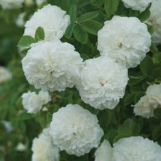 Mme Legras de St. Germain - David Austin Roses  Ivory-white blooms tinged with yellow.