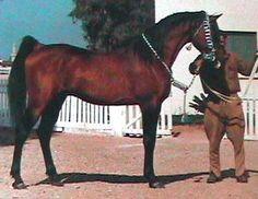 EL SAREEI (Shahloul x Zareefa, by Kazmeen) 1942 bay stallion