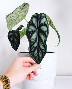 Home Garden Plants, Shade Garden, Alocasia Plant, Paper Leaves, Elephant Ears, Dragon Scale, Propagation, Cool Plants, 8 Weeks