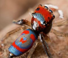 Australian Peacock Spider from Up Close - Nature is amazing