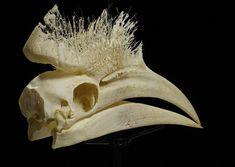 Black Casqued Hornbill skull