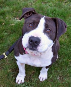 What a face! Latifah 3 year-old Pit Bull female is at the Seattle Animal Shelter and is looking for the right person to share her life with.