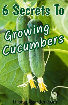 6 Secrets To Growing Cucumbers - how to have a great harvest this year! #cucumbers #garden #cucumber #organic #vegetablegarden