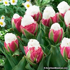 Looking for a truly unique statement for your spring garden? The name says it all - Deep pink petals surround a full, white center, resembling a bowl of ice cream! Be sure to plant these fun Tulips in a place where you can admire them often.