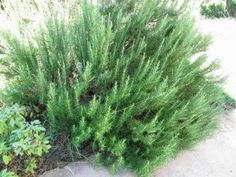 Zone 5 Rosemary Plants: Tips On Growing Rosemary In Zone 5 -  Rosemary is traditionally a warm climate plant, but agronomists have been busy developing cold hardy rosemary cultivars suitable for growing in cold northern climates. This article provides additional information on rosemary for zone 5 gardens.