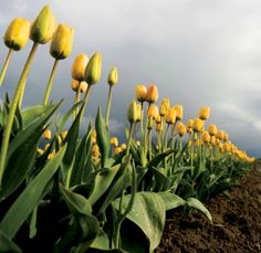 Spring landscape photography tips 1 - tulips