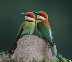 Chestnut-Headed Bee-Eaters. Photo by Malaysian Wildlife Photography