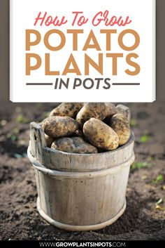 how to grow potatoes in