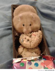 This hamster isn't fat O.o It's just stored food in it's cheekpouches! And animals like hamsters certainly aren't the type of animal to forget to exercise ; Cute Little Animals, Cute Funny Animals, Funny Cute, Funny Looking Animals, Fat Funny, Teddy Hamster, Hamster Treats, Animal Pictures, Cute Pictures