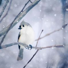 "Fine Art Bird Photography Print ""Tufted Titmouse in Snow"" from Rocky Top Studio"