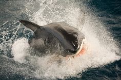 Great White Sharks, come and see them in South Africa - www.sharktours.co.za
