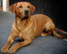 Fox Red Labrador Retriever from South Yorkshire . Fox Red Labrador Puppy, Red Lab Puppies, Labrador Puppy Training, Dogs And Puppies, Doggies, Labrador Dogs, Golden Labrador, Corgi Puppies, Big Dogs