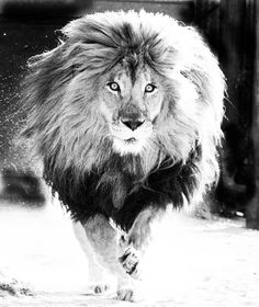 The Word of God is like a lion. You don't have to defend a lion. All you have to do is let the lion loose, and the lion will defend itself. The Animals, My Animal, Wild Animals, Baby Animals, Funny Animals, Beautiful Cats, Animals Beautiful, Gato Grande, Tier Fotos