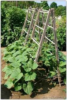 Cucumber tower -  I would like to try this. I bought plastic fencing to cover the trellis with.