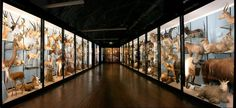 One of the galleries at the Natural History Museum at Tring in Hertfordshire.