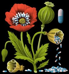 How Doctors Helped Drive the Addiction Crisis - Bjorn Rune Lie, The New York Times, Illustration Botanique, Botanical Illustration, Graphic Design Illustration, Illustration Art, Chili Festival, The Flowers Of Evil, Weird Plants, Floral Illustrations, Repeating Patterns