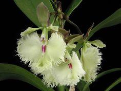 Epidendrum Annelie Wans  (Epidendrum ilense 'Newberry' x Epidendrum stamfordianum 'Darkie' )