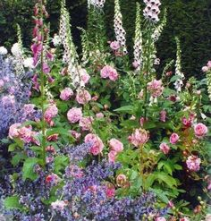 Gertrude Jekyll garden (foxglove, roses and nepeta -catmint)
