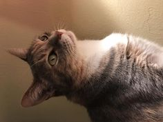 Pebbles is an extremely rambunctious and outgoing cat. She loves to spend time with people, as well as her brother Sammy. No matter what day it is, or what time it is, she can always be found exploring the unknown.