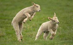 5. Lambs