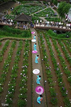 Itako Iris Festival, Japan.  Photography by Yumi