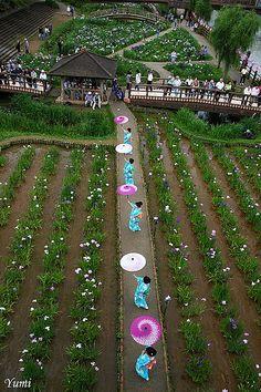 Itako Iris Festival, Japan. Photography by Yumi
