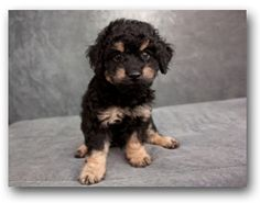 Ever Considered Taking On A French Lover? - PLEASE SHARE THIS PIN! James is one of a litter of miniature Poodle mixes that came to the SPCA when they were just a few days old. They're now seven weeks old, and they just keep getting cuter  every day! Mom looks to be a purebred miniature Poodle, and weighs about ten pounds. For more info about James or his siblings, please contact Highland Lakes SPCA 830.693.0569. A $ 135 adoption fee includes shots, heartworm treatment, spay/neuter…