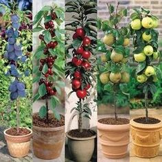 Miniature Fruit Trees | Miniature Patio Fruit Trees | Mirror Reader Offers