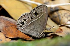 Ventral view of a Single-ring Bushbrown(Mycalesis sangaica mara)(Wet-season form) photographed by YoyoFreelance in Taiwan on 30th October 2015