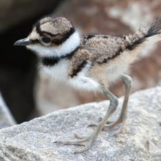 Killdeer fledgling - They hatch and walk our stone driveway every late spring, early summer.