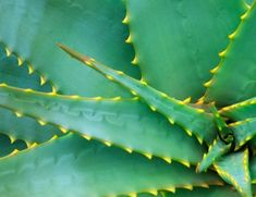 Close-up of an agave plant, Balboa Park, San Diego, California, USA Health Benefits, Agave Plant, Agave Nectar, Landscape Plans, Planting Succulents, Plant Leaves, Things To Come, Just For You, Succulents