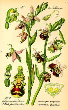 Flora von Deutschland Österreich und der Schweiz (1885) Ophrys fuciflora                                                                                                                                                                                 Mehr