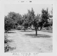 Just down the street from where I grew up. -- Peach Trees at the Gallardo home in Northridge, circa 1959. In 1962, the state acquired the land for the expansion of the California State University campus in Northridge (CSUN). San Fernando Valley History Digital Library.