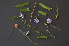 Late purple aster.  Hairs on stem and leaves as well as differences between main stem leaves and leaves within inflorescence can be seen.