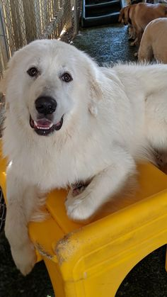 This is Bear, a Great Pyrenees I work with, and an absolute angel. Angel 11, Great Pyrenees, Image Macro, Dog Pictures, Labrador Retriever, Puppies, Bear, Dogs, Animals