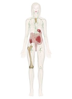 The Lymphatic System Diagram . The Lymphatic System Diagram Immune And Lymphatic Systems Anatomy Pictures And Information Human Anatomy Chart, Human Anatomy Drawing, Human Body Anatomy, Human Anatomy And Physiology, Human Body Organs, Human Body Systems, Human Anatomy Picture, Anatomy Organs, Anatomy Images