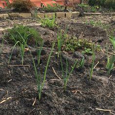 April 2016  Preitjes uigeplant Erachter citroenmelisse en lupine