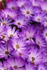 紫色のヒナギク、花びら、花 iPhoneの壁紙