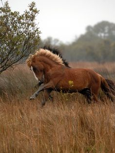 Wild Horses of NC Outerbanks