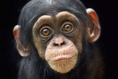 Primates, Mammals, Cute Baby Animals, Animals And Pets, Funny Animals, Strange Animals, Baby Chimpanzee, Cute Monkey, Paws And Claws