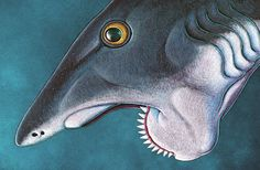 The world's only animal, past or present, with a complete spiral of teeth was Helicoprion, which sliced into prey like a buzz saw. Extinct Animals, Prehistoric Animals, Discovery News, Natural Man, Oceans Of The World, Sea Monsters, Prehistory, Science And Nature, Sea Creatures