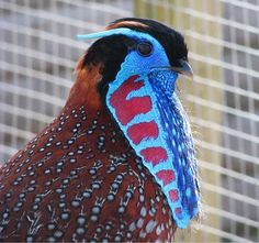 TEMMINCK'S TRAGOPAN   (Tragopan temminckii) ©Allandoopheasantry    The Temminck's Tragopan is a medium-sized pheasant in the genus Tragopan. The male is a stocky red-and-orange bird with white-spotted plumage, black bill and pink legs. It has a bare blue facial skin, inflatable dark-blue lappet and horns. The female is a white-spotted brown bird with blue circular eye skin.    The diet consists mainly of berries, grass and plants.